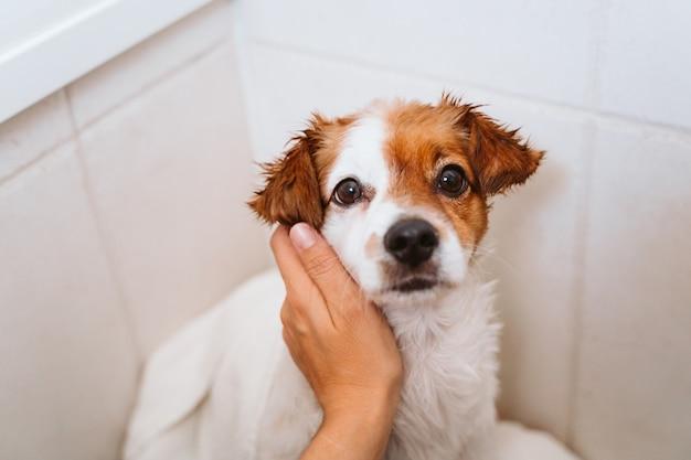Junge frau, die ihren niedlichen kleinen jack russell-hund mit handtuch zu hause trocknet