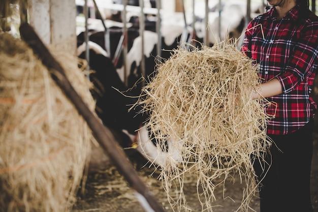 Junge frau, die mit heu für kühe auf molkerei arbeitet