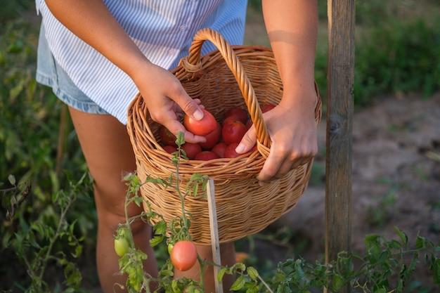 Junge frau pflückt tomaten in einem korb in einem sommergarten