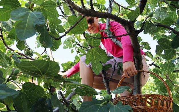 Junge frau sitzt auf einem feigenbaum im grünen laub und hält einen korb für gesammelte früchte in den händen