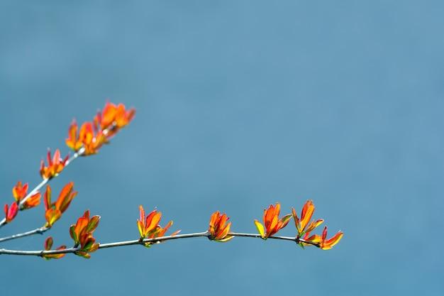 Junge frühlingsblätter von granatapfel