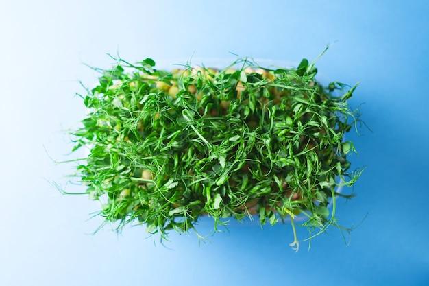 Junge gemüseerbsensprossen, mikrogrün auf blauem hintergrund. organische mikrosprossen gewachsen