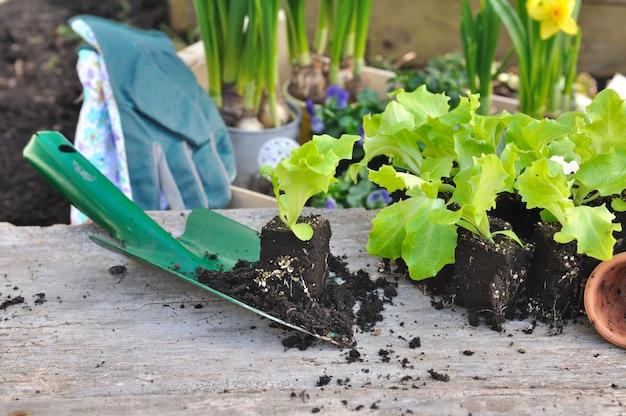 Junge gemüsepflanzen für plantage