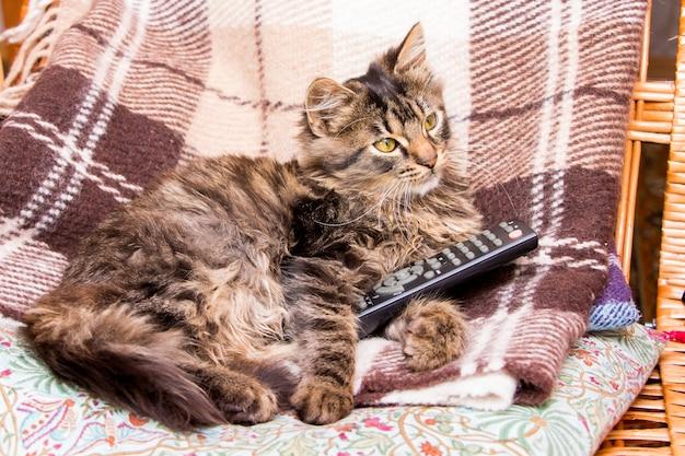 Junge gestreifte katze sitzt auf einem stuhl und hält die fernbedienung, um fernsehprogramme zu wechseln