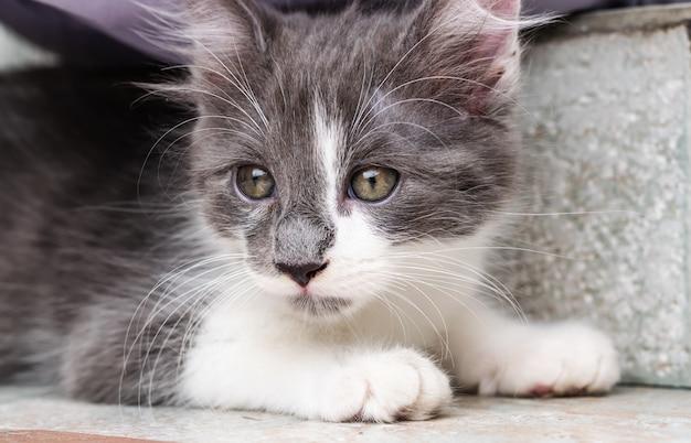 Junge grau-weiße katze, die für foto aufwirft.