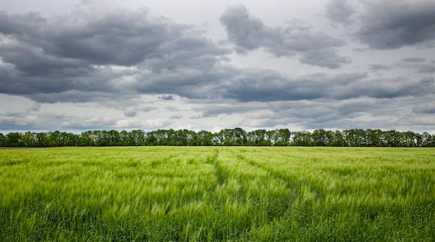 Junge grüne gerste mit ährchen auf dem feld bei bewölktem und leichtem regen