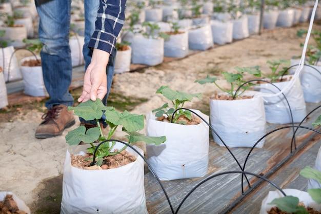 Junge grüne melone oder kantalupe, die im gewächshaus wachsen