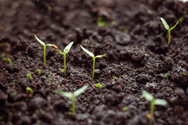 Junge grüne pfeffersprossen im boden. wachsende sämlinge im frühjahr zum pflanzen in einem gewächshaus.