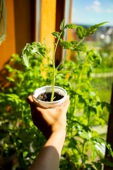 Junge grüne sämlingssprossen in der sämlingschale in der nähe des fensters. aussaat von samen, die im frühjahr in kleinen töpfen wachsen. gemüseplantage im haus
