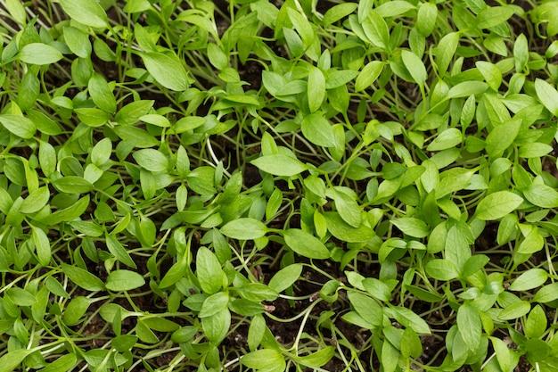 Junge grüne sprossen. konzept für gesunde ernährung. microgreen