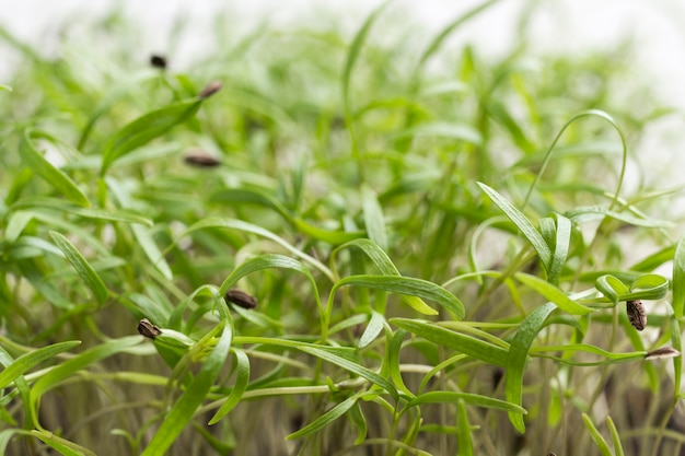 Junge grüne sprossen. samenschale auf gekeimtem spross.