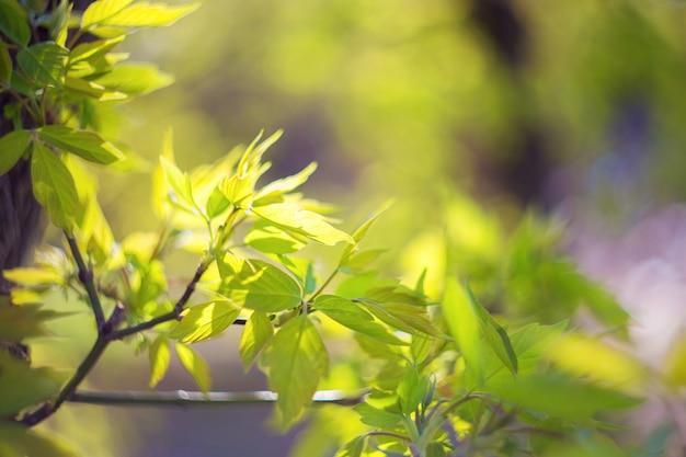 Junge grüne triebe, frische ahornblätter, die im hellen sonnenlicht blühen