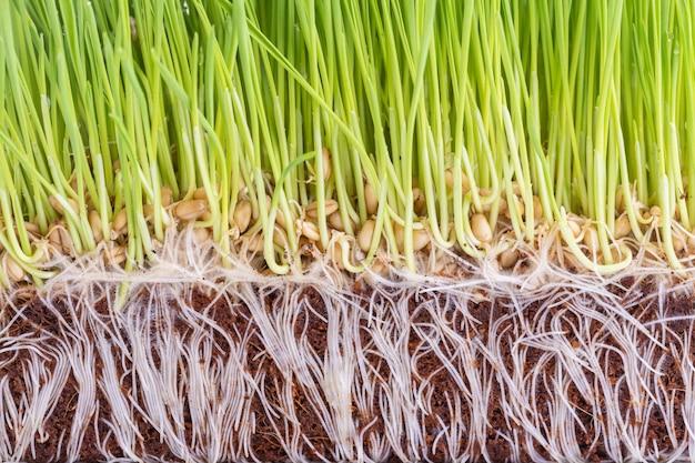 Junge grüne wheatgrassatelieraufnahme lokalisiert auf weiß