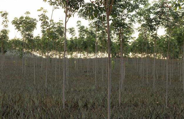 Junge gummibaumfarm, die bei sonnenuntergang das latex gegen den himmel produziert.