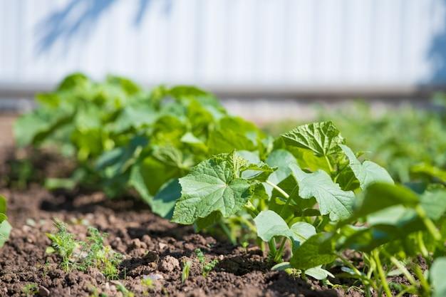 Junge gurkenbüsche. im garten wachsen gurkenbüsche. gartenarbeit, gemüseanbau im garten. nahansicht