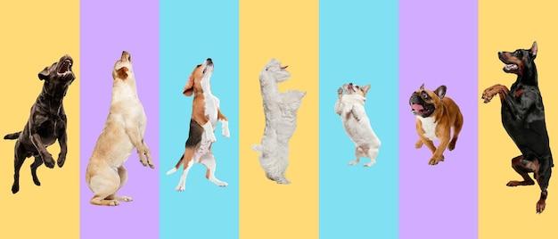 Junge hunde, haustiere, die hoch springen, fliegen. süße hündchen oder haustiere sehen glücklich aus, isoliert auf mehrfarbigem hintergrund. fotoaufnahmen im studio. kreative collage verschiedener hunderassen. flyer für ihre anzeige.