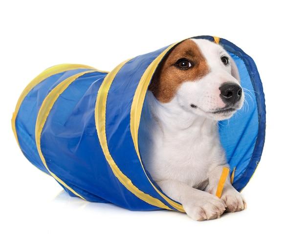 Junge jack russel terrier im tunnel