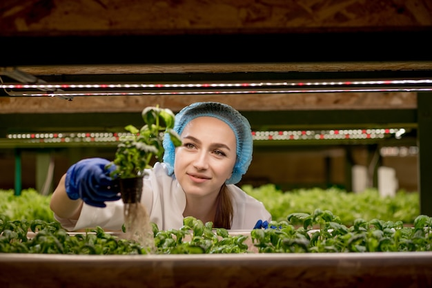 Junge kaukasische frau, die grünes basilikum von ihrer hydrokulturfarm erntet. konzept des anbaus von bio-gemüse und naturkost.