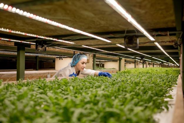 Junge kaukasische frau, die grünes basilikum von ihrer hydrokulturfarm erntet.