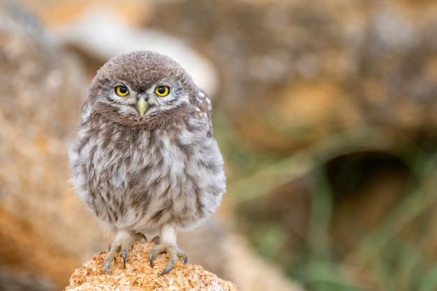 Junge kleine eule (athene noctua), die auf einem stein sitzt.