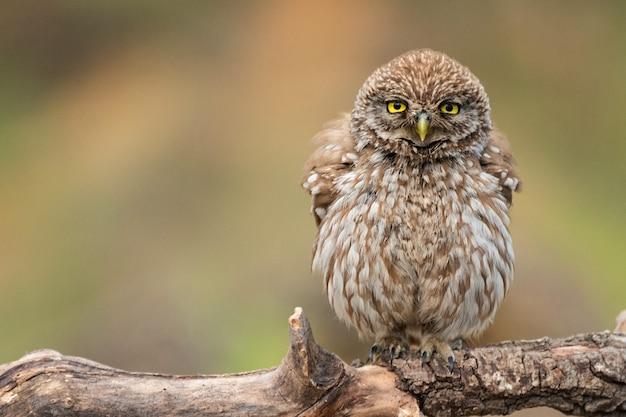 Junge kleine eule, athene noctua, steht auf einem stock auf einem schönen hintergrund.
