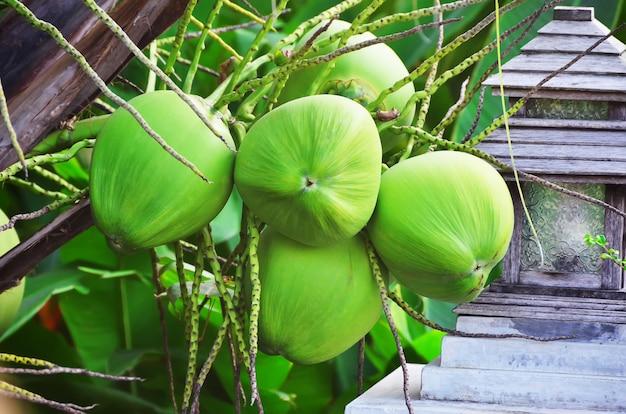 Junge kokosnüsse