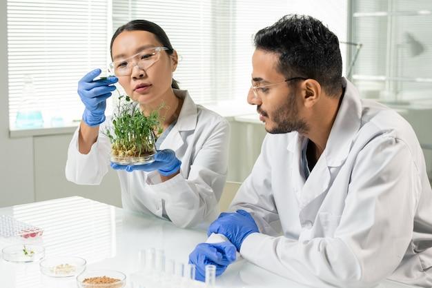 Junge laborantin in handschuhen und weißem kittel, die grüne, im labor angebaute sojasprossen hält, die in petrischale wachsen, während ihr kollege sie anschaut