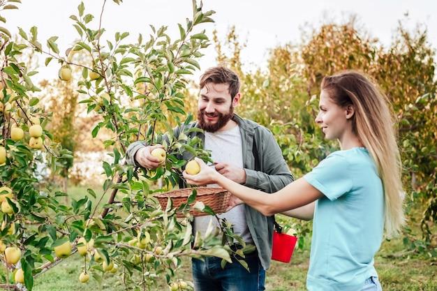 Junge männliche und weibliche landwirte ernten während der herbsternte äpfel im obstgarten. happy family paar frau mann arbeitet im garten und erntet reife äpfel bei sonnenuntergang.