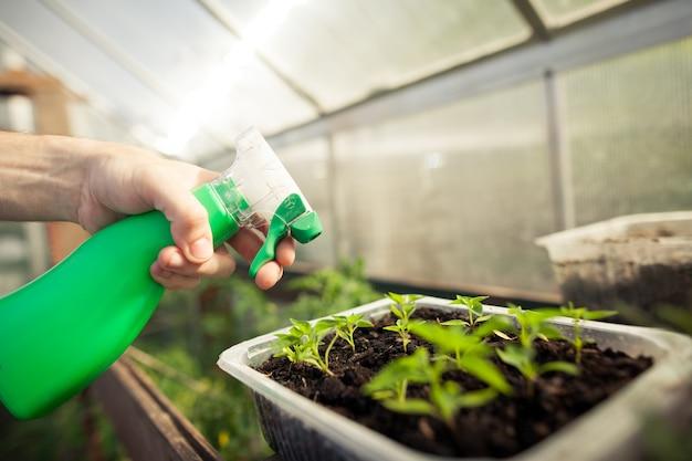 Junge mannhände, die naturdünger sprühen, reifen zu kleinen pflanzen des gemüses