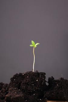 Junge marihuana-pflanze im boden auf einem grauen hintergrund. grüner cannabis-spross.