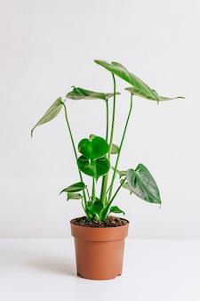 Junge monsterpflanze in einem topf auf weißem tisch.