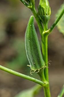 Junge okra-pflanze (lady finger) am bauernhoffeld