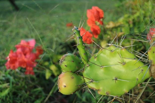 Junge opuntie-kaktusfrüchte, die auf den stacheligen kaktuspflanzen mit blühenden roten blumen wachsen