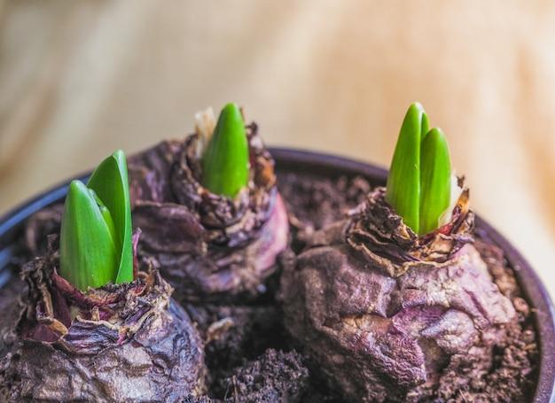 Junge pflanze in händen. pflanzen von zwiebelpflanzen, tulpen, hyazinthen.