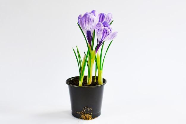 Junge pflanzen wachsen aus dem boden. violetter krokus im topf auf dem weiß. endergebnis der verpflanzung der pflanze zu hause