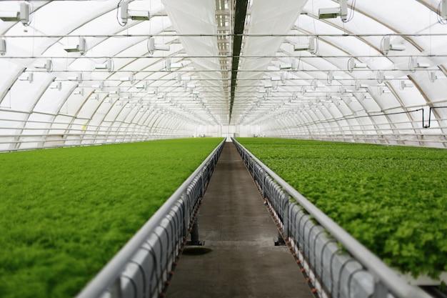 Junge pflanzen wachsen in einem kommerziellen gewächshaus mit sehr großen pflanzen