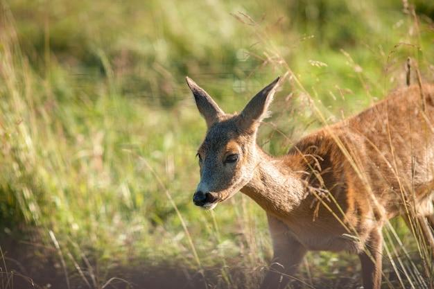 Junge roe-hirsche bahnen sich ihren weg durch das hohe gras.