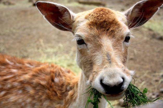 Junge rotwild, die frisches gras im zoo essen. ein hirschkopf mit großen ohren.