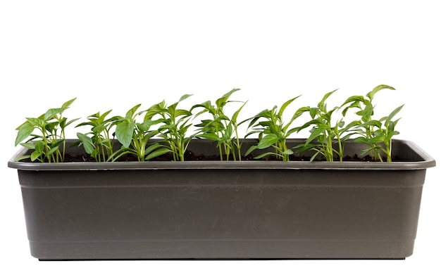 Junge sämlinge von blumenpflanzen für den garten, isoliert auf einer weißen oberfläche