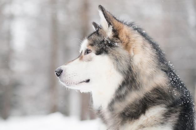 Junge schöne alaskische malamute, die sich im schnee freut. hund winterporträt