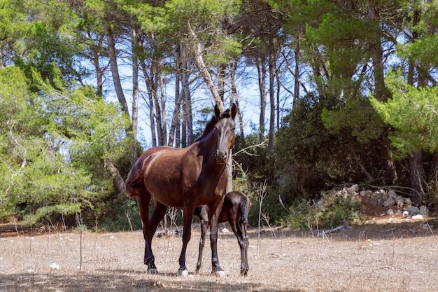 Junge schöne stute (menorquin pferd) mit ihrem fohlen auf der weide. menorca (balearen), spanien