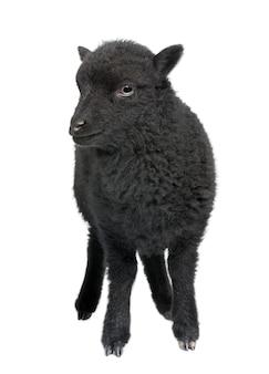 Junge schwarze shhep - ouessant widder auf einem weißen isoliert