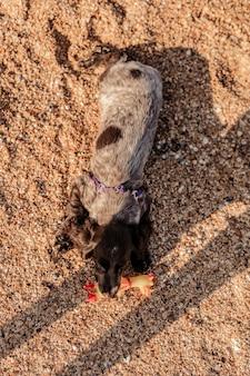 Junge springer spaniel hund spielt mit spielzeug auf einer etage am meeresufer.