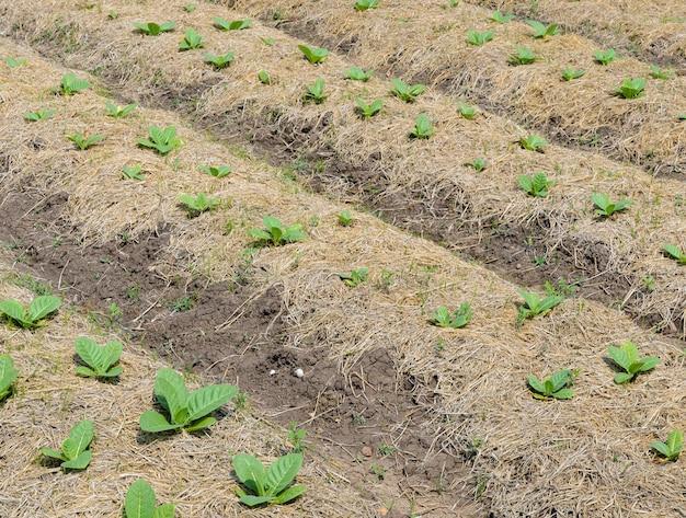 Junge tabakpflanze