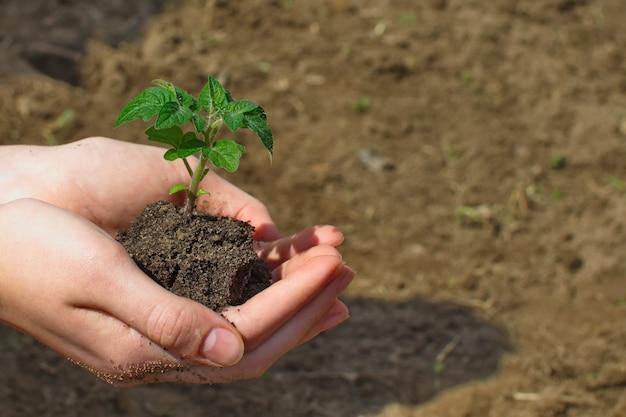 Junge tomatenpflanze in händen