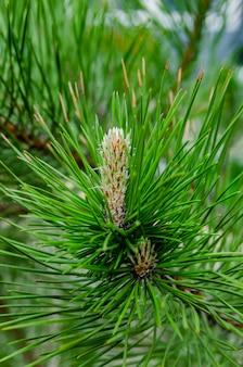 Junge triebe auf zweig der grünen üppigen kiefer. frühlingserneuerung der bäume, bildung neuer zapfen auf der kiefer.