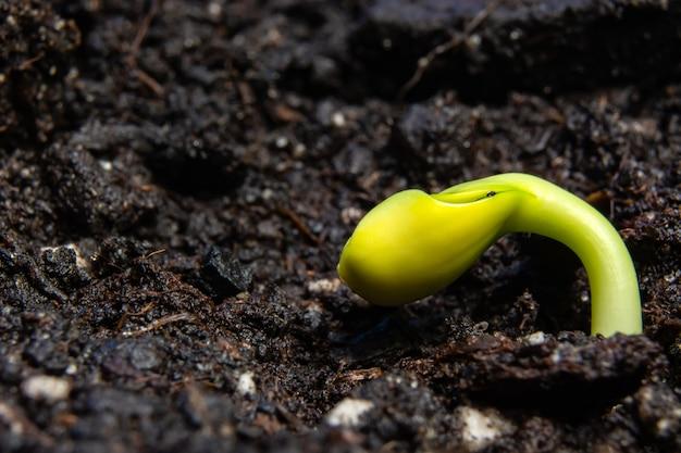 Junge triebe der sonnenblume auf schwarzem boden