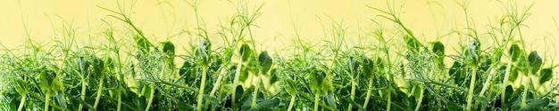 Junge triebe von grünen erbsen-mikrogrüns auf einem gelben.