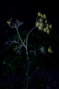 Junge uprokpa schießen im dunkeln. leuchtend gelbe samen. das foto ist in einem niedrigen schlüssel gemacht.