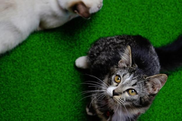 Junge verrückte überraschte katze. kätzchen lustiges gesicht.